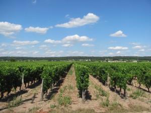 Vines summer